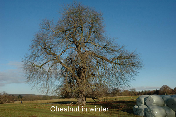 Chestnutinwinter.jpg